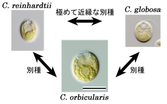 Cryptomonad protist cell